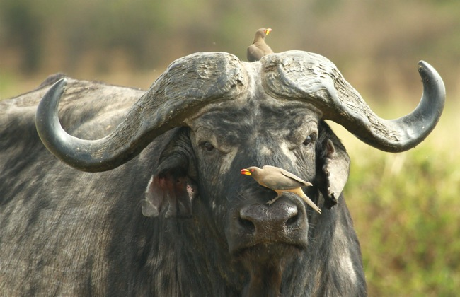 buffalo & oxpeckers